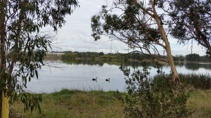 Black Swans on Lake Ginninderra